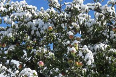 apples and snow