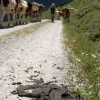 Cow pat on a mountain biking track